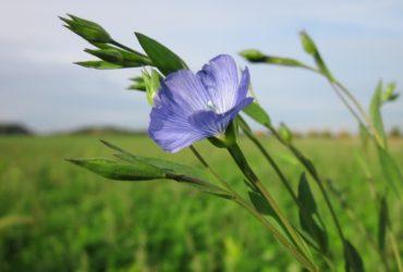 Len, lněné látky – materiál, který voní přírodou